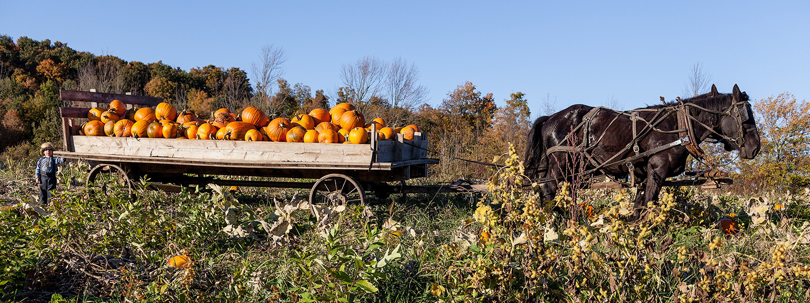 Amish pumpkin harvesting
