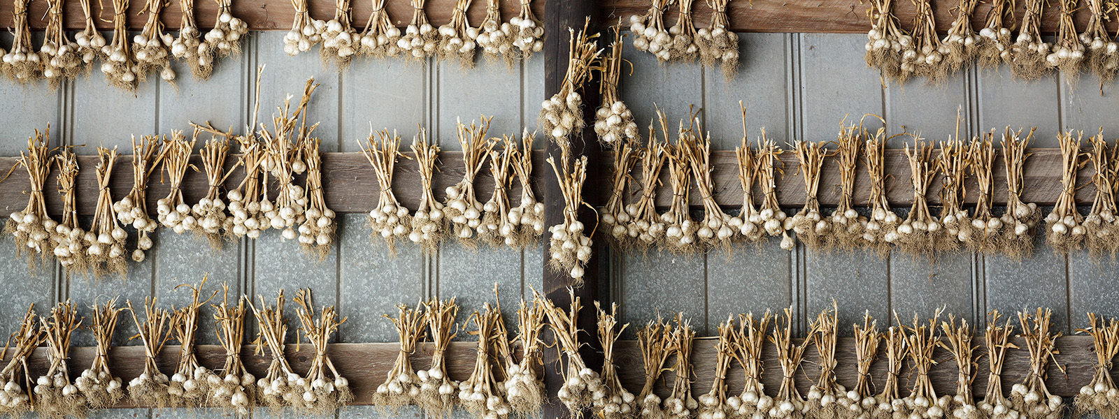 Garlic drying, Schoharie